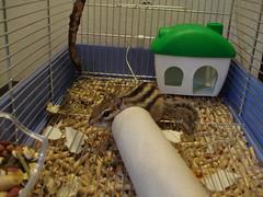 DSC01668 (Elavon) Tags: dog pet cat squirrel turtle foster finch chipmunk zebra cockatiel giappone gould scoiattolo diamante passero padda mandarino calopsitta