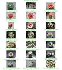 Bild 002 (sambucus2009) Tags: astrophytum kikko asterias superkabuto krausei