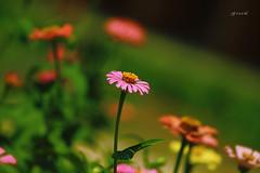 (GnL*) Tags: pink flower nature bokeh doga iek pembe canon400d