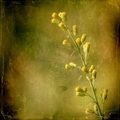 Perfect Day (Maureen F.) Tags: green yellow 50mm bravo bokeh perfectday greens 18 wildflower squared bratanesque memoriesbook stillplayingcatchup textureunknownifyouknowpleaseletmeknow