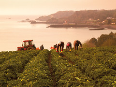 Jersey Royal Potatoes being picked on a Cotil