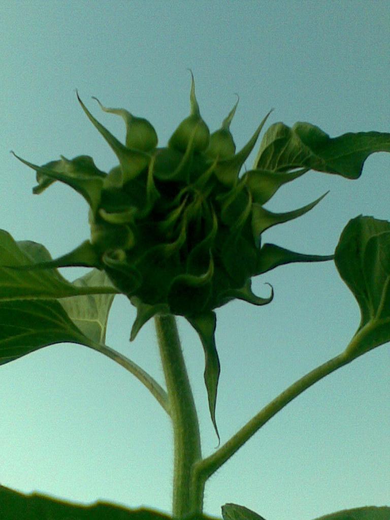 家乡的向日葵