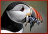 Fish supper. (Yorkshire Girl) Tags: birds puffin ornithology potofgold farnes supershot frhwofavs thewonderfulworldofbirds coth5