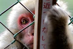 La gabbia... per me o per voi? (Xelisabetta) Tags: japan monkey eyes arashiyama  nippon  giappone iwatayamamonkeypark kyto  scimmia  xelisabetta elisabettagonzales