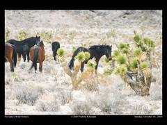 18- Wild Horses (nabila4art) Tags: winter horse nature weather wildlife nevada snowstorm wilderness wildhorses nevadadesert wildhorsesinsnowfall joshuatreas