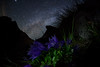Campanula lasiocarpa of Milky Way (masahiro miyasaka) Tags: flowers blue flower beautiful japan night canon stars iso3200 star purple nightshot violet led fisheye galaxy astrophotography 日本 花 campanulaceae mybest campanula technique 青 alpin oneshot milkyway bluish 天文 alpineplant bellflower 紫 夜 宇宙 3000m alpineflower 银河 桔梗 mountainflowers glockenblumen 天の川 alpenflora alpinflower sigma15mmf28exdgfisheye 銀河 晚 колокольчик Astrometrydotnet:status=failed campanulalasiocarpa イワギキョウ eos5dmarkⅱ 岩桔梗 Astrometrydotnet:id=alpha20100916290922