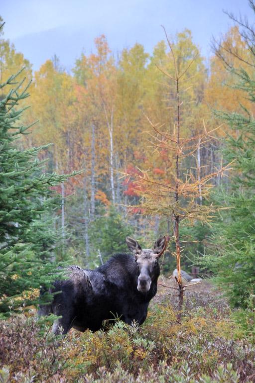 moose_foliage_0196