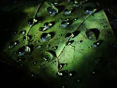 Dew Fall (9 of 10) (RichTatum) Tags: nightphotography autumn wallpaper brown macro green fall nature water leaves closeup mi landscape leaf lowlight michigan sony led dewdrop dew refraction droplet vein condensation specular cascade vignette ledflashlight surfacetension dsc90 blogrodent richtatum cascademichigan