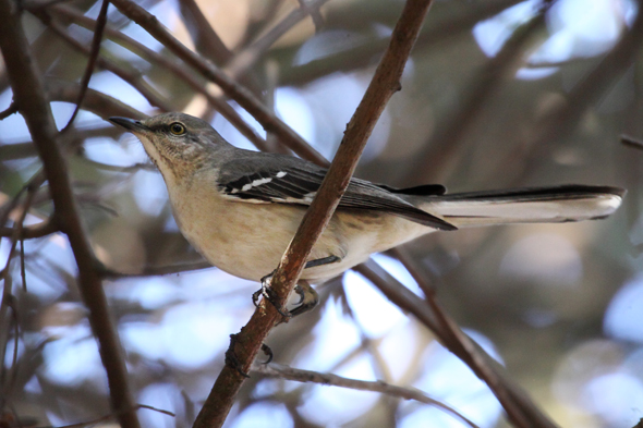 450_northernMockingbird2