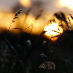dream on (=Я|Rod=) Tags: autumn sunset sun blur fall 6x6 grass silhouette square glow sonnenuntergang 1800s outoffocus f45 rush bremen dreamlike magical iso500 ochtum juncaceae nikond80 doyouhavesome whatareyourdreams 200300mm tamron7020028 ©rerod grolland я|r ©reinerrodekohr