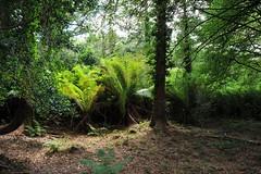 Tree Fern Forest (Joachim S. Mller) Tags: ireland fern irland farn treefern countykerry baumfarn tamronaf18270mmf3563 rossdohanisland oilenrosdochan