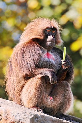 フリー画像| 動物写真| 哺乳類| 猿/サル| ゲラダヒヒ|       フリー素材|