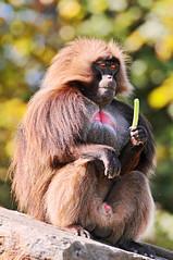 [フリー画像] [動物写真] [哺乳類] [猿/サル] [ゲラダヒヒ]       [フリー素材]