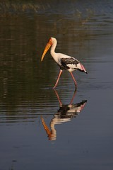 The Cooparative Stork (Radsmatazz) Tags: pink birds fauna waterbird srilanka stork paintedstork bundalanationalpark