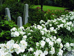 Flower Carpet Rose - White
