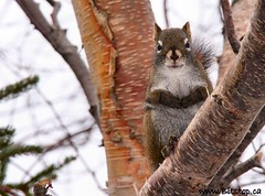 Squirrel (Karen_Chappell) Tags: winter tree cute animal newfoundland furry squirrel branch wildlife stjohns nfld bowringpark