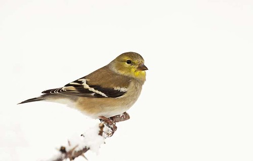American Goldfinch in Snow 2
