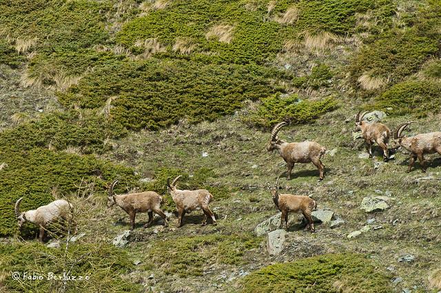 9. Stambecchi intorno al Lago di Cortina