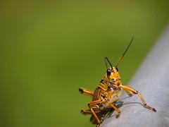 Gentleman cricket (Fernando Lenis) Tags: park tree lumix big florida olympus panasonic using f4056 45200mm penpl1