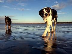 """My """"hairy bairns"""" Jack and Arthur! ❤x (shona.2) Tags: iphone6 eastlothian scotland reflection sand pet beach dog"""