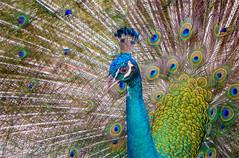 Peacock (Kevin Lloyd) Tags: kl kualalumpur kualalumpurbirdpark malaysia panasonic panasoniclumixdmclx7 peacock animalportrait aviary bird birdpark blue feathers headshot plumage portrait portraiture teal travel turquoise wilayahpersekutuankualalumpur