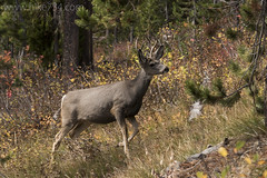 "Mule Deer (buck) • <a style=""font-size:0.8em;"" href=""http://www.flickr.com/photos/63501323@N07/32936757162/"" target=""_blank"">View on Flickr</a>"