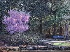 Purple Park Pop (clarkcg photography) Tags: earlyspringsigns flickrfriday blossoms spring warmer wintersend bench park path sun sunlight sunrays color honorheightspark muskogee oklahoma