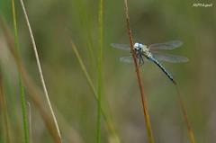 Aeshna affinis (MP7Aquit) Tags: macro nature animal wildlife sony 350 alpha animaux insecte libellule invertebrate imperator anax odonate invertebrado invertbr eschne