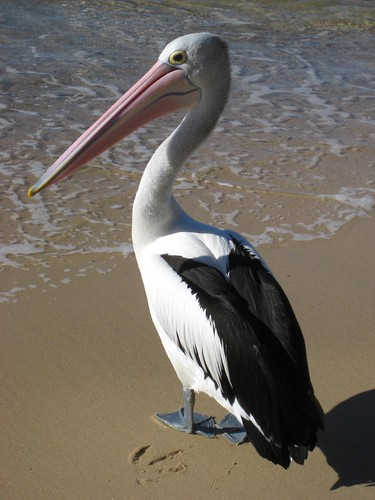 Pelican - Spit to Manly Bridge Walk