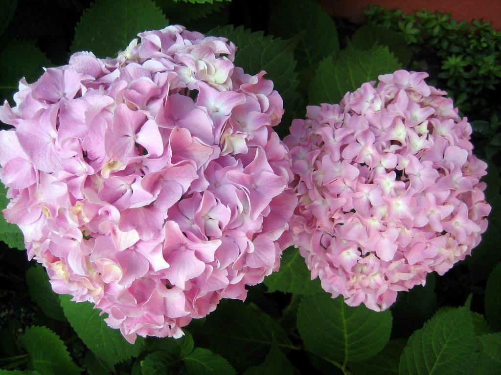 Garden Hydranga's
