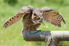 Eurasian Eagle-owl (kenyaya) Tags: wild ontario canada animal canon rebel zoo african hamilton lion conservation safari xs eurasian attraction eagleowl flamborough 1000d