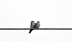 voyage travel vacation two naturaleza bird love nature birds wire nikon costarica power pair line electricity traveling armando 18200 vacaciones arenal d90 18200vr kioro maynez