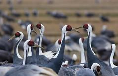 White-naped Crane Grus vipio, Arasaki (Allan Drewitt) Tags: japan crane grusvipio arasaki whitenaped allandrewitt