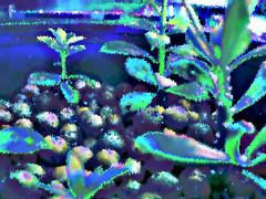 peresk3 (runrun02864) Tags: cactus film water cacti technology deep culture hydroponics nft nutrient pereskiopsis