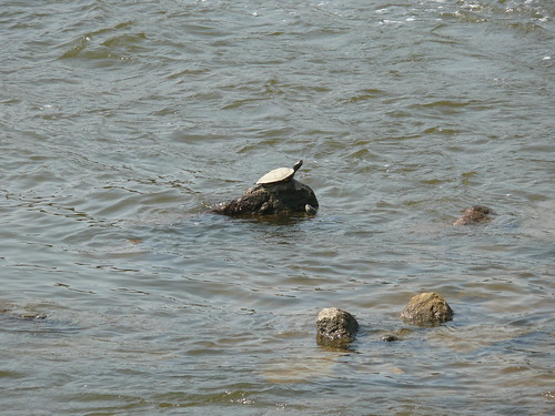 Turtle on the Rocks in the Grand River