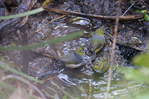 Silvereyes bathing