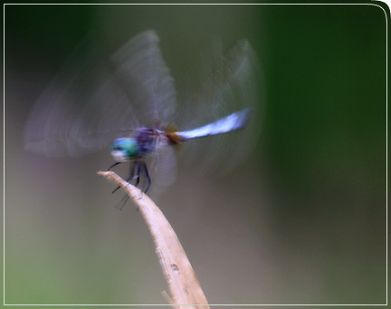 dragonfly_cominginforlanding03