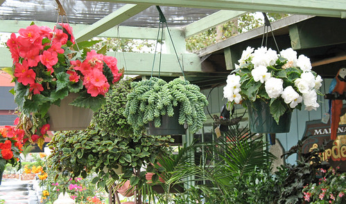donkey tails and begonias in hanging baskets
