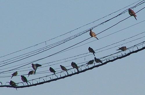 doves8-25-2009x