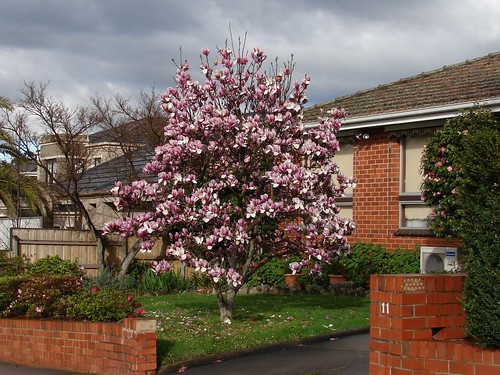magnolia tree. Magnolia tree