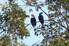 Writhed Hornbill couple - Mindanao Philippines...