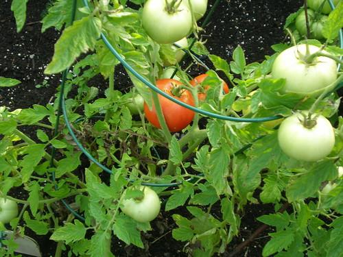 Pollock tomatoes ripening