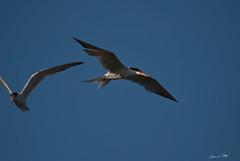 Ali nel vento (Just_4_Fun*) Tags: sardegna sardinia saline tern cagliari sterne molentargius stagno beccapesce