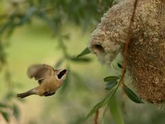 Remiz pendulinus (Raimondas Paskevicius) Tags: bird nest olympus aves remizpendulinus pauktis lizdas europeanpendulinetit remeza