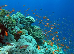 back to the Red Sea coral garden (Z Eduardo...) Tags: fish nature colors underwater redsea dive egypt scuba sinai sharmelsheik coralreef coralgarden superaplus aplusphoto platinumheartaward bestofmywinners