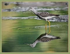 Greater Yellowlegs Sandpiper (TT_MAC) Tags: bird nature sandpiper legacy soe victoriabc birdwatcher shorebird tringamelanoleuca albertheadlagoon theperfectphotographer rubyphotographer greateryellowlegssandpiper earthanditsincredibleanimals birdqualityonlyclub
