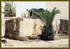 Dates Palm Tree - Bahrain National Tree (bachfel) Tags: trees plants building foods bahrain places filipino pinay dates pinoy manama manamabahrain nikond40x d40x artdulay bachfel middleeastshuttersquad