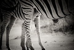 Protection maternelle (orang_asli) Tags: africa nature animals southafrica mammal nationalpark champs zebra fields imfolozi lieux afrique mammifère aficionados faune bushveld naturel zèbre afriquedusud savane parcnational géographie gographie zbre mammifre