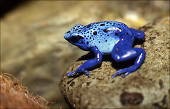 Blue Poison Dart Frog (Foto Martien (thanks for over 2.000.000 views)) Tags: blue holland tree netherlands dutch animal analog forest zoo rainforest blauw venezuela nederland amphibian slide dia scan frog jungle tropical analogue poisondartfrog kikker suriname dierentuin dendrobatesazureus dierenpark bluepoisondartfrog analoog diergaardeblijdorp diascan poisonarrowfrog poisonfrog frenchguyana minolta9000 pijlgifkikker gifkikker northernsouthamerica dartpoisonfrog blauwepijlgifkikker blauebaumsteiger azurblauebaumsteiger britishguyana aquaterrarium scanedpicture blauerpfeilgiftfrosch zoorotterdam martienuiterweerd sipaliwinisavannah martienarnhem mygearandme mygearandmepremium minoltamacro100mm28mm mygearandmebronze mygearandmesilver mygearandmegold mygearandmeplatinum ringexcellence dblringexcellence fotomartien tplringexcellence dendrobatestinctoriusvarazureus eltringexcellence ranaflechaazul northcentralbrazil okopipe
