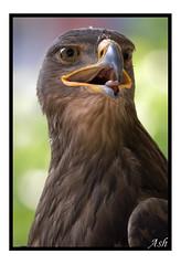 Aguila / Eagle / Arrano (Asi75er) Tags: bird photoshop canon eos eagle flight bilbao ave elements zb bizkaia euskalherria euskadi vizcaya bilbo basquecountry paisvasco aguila photoshopelements erandio arrano specanimal 400d canoneos400d